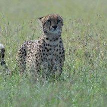 Cheetah,Masai Mara