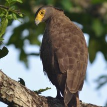 Crested serpent eagle,Nagarhole