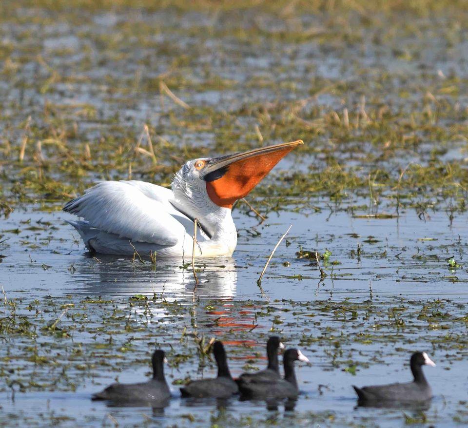 Dalmetian Pelican,Bharatpur