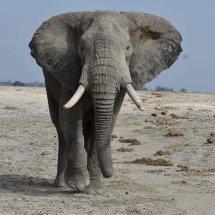Elephant,Amboseli,Kenya