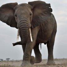 Elephant,Amboseli