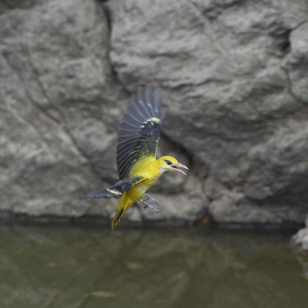 Golden Oriole,Ranthambhore