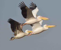 Great White Pelican,Velavadar