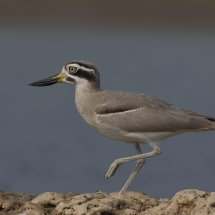 Greater Thick-knee Chambal