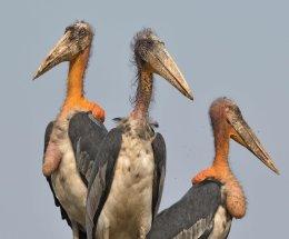 Greater Adjutant Stork,Guwahati Garbage Dump