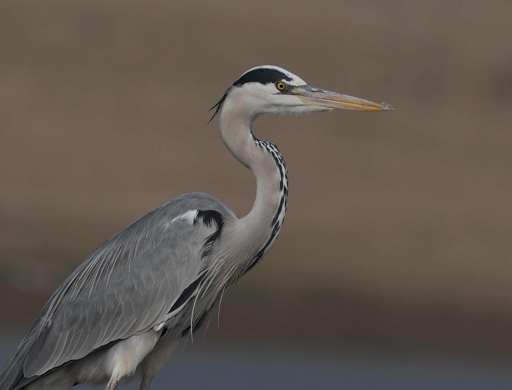 Grey Heron,Chambal