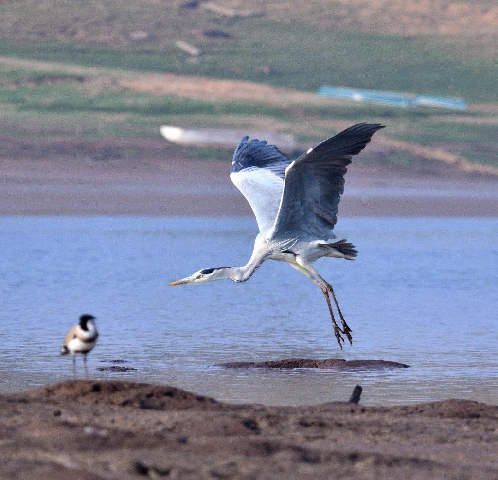 Grey Heron,Satpura