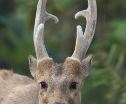 Hog Deer,Kaziranga