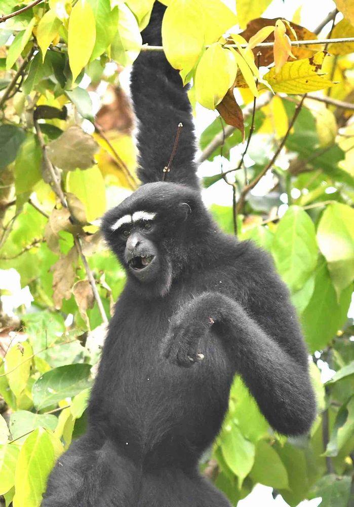 Hoolock Gibbon,Kaziranga