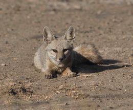 Indian Fox,Velavadar