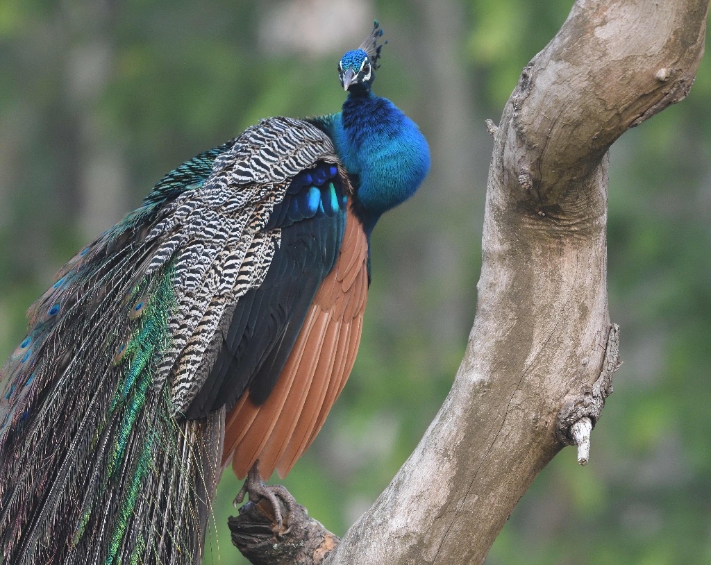 Indian Peacock,Nagarhole