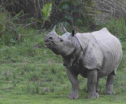 Indian Rhinoceros,Kaziranga