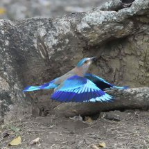 Indian Roller,Nagarhole
