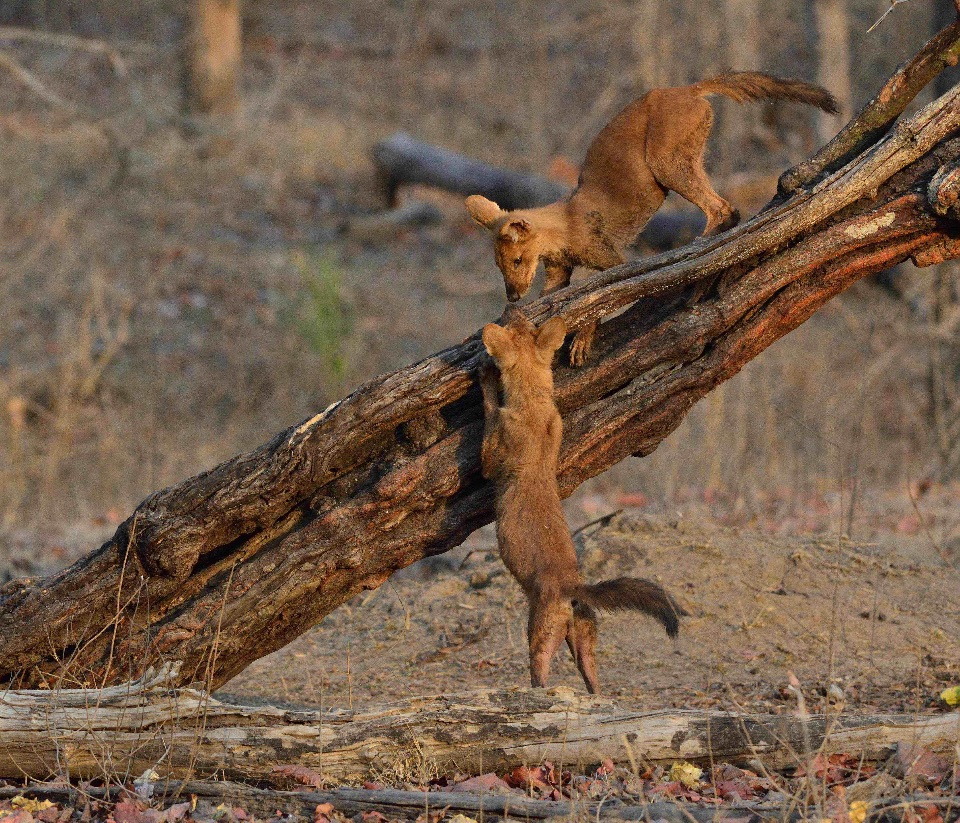 Indian Wild Dog,Pench