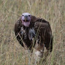 Lappet-faced Vulture,Serengeti,Tanzania