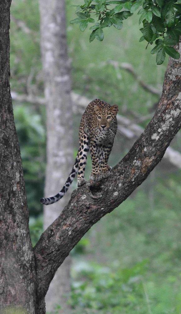 Leopard,Nagarhole