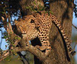 Leopard,Okavango Delta,Botswaqna