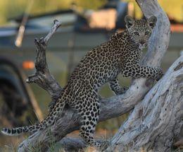 Leopard,Okavango Delta,Botswana