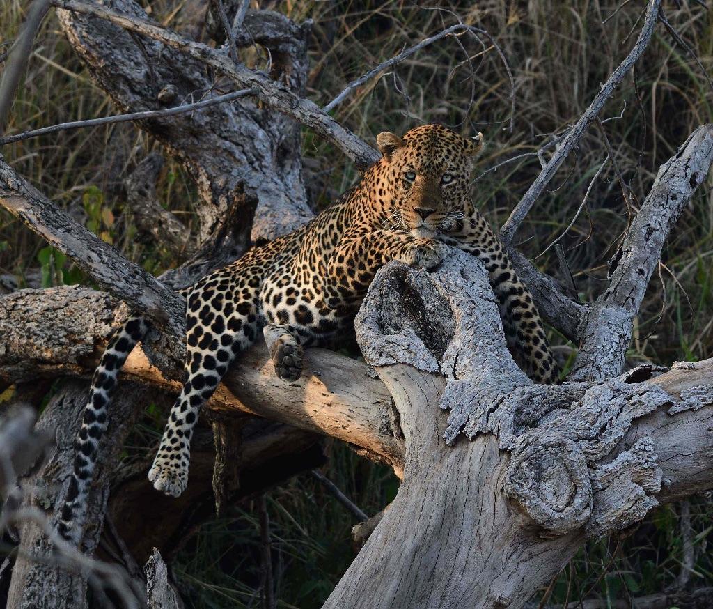 Leopard,Serengeti