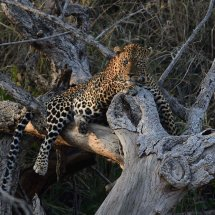 Leopard,Serengeti,Tanzania