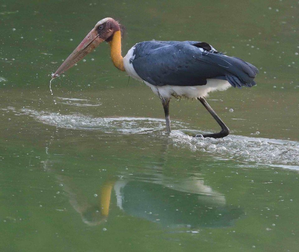 Lesser Adjutant Stork,Bandhavgarh