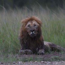Lion,Masai Mara