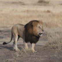 Lion,Masai Mara,Kenya