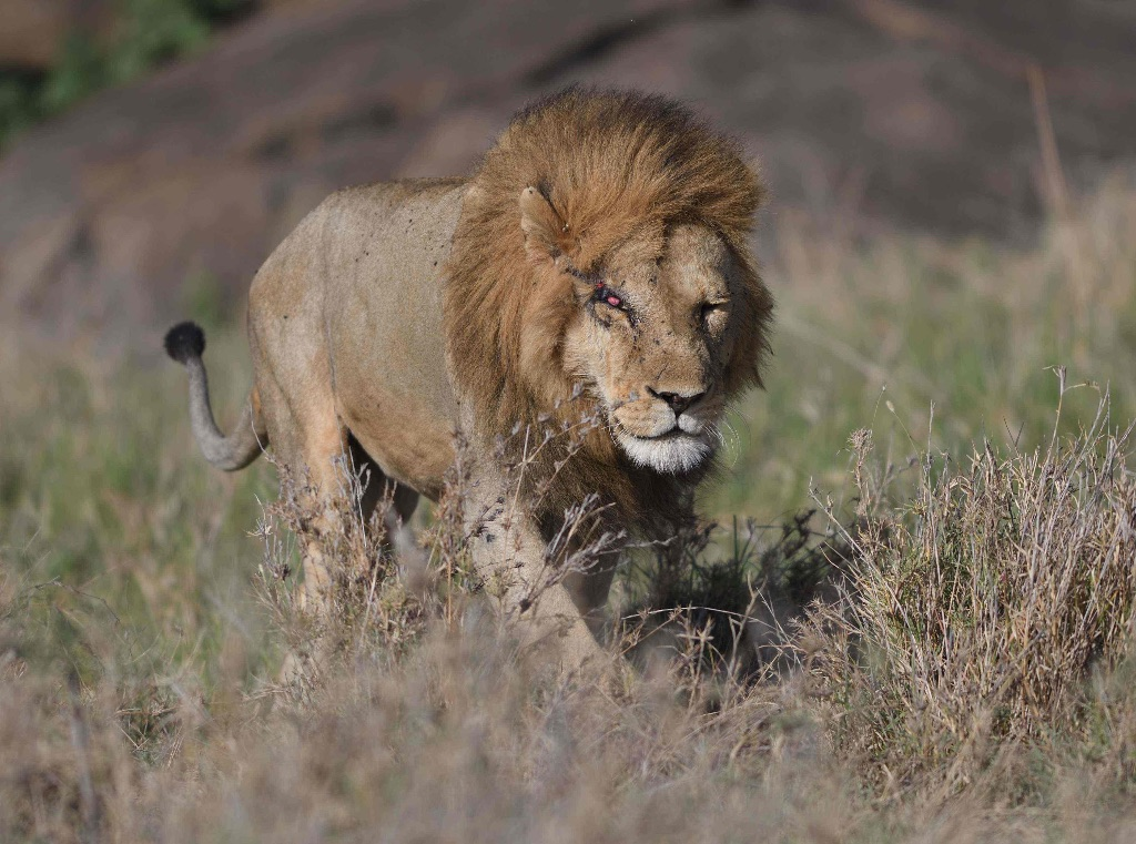Lion,Serengeti,Tanzania