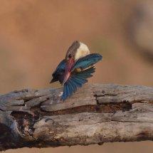 Stork-billed Kingfisher,Pench
