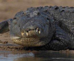 Marsh Crocodile,Chambal