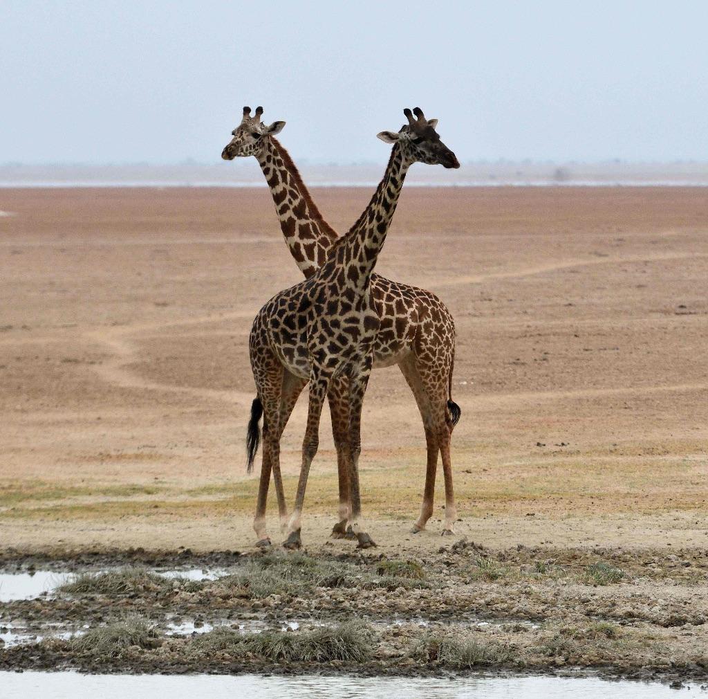 Masai Giraffe,Amboseli