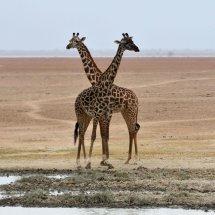 Masai Giraffe,Amboseli,Kenya
