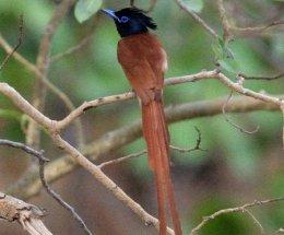 Paradise Fly-catcher,Ranthambhore