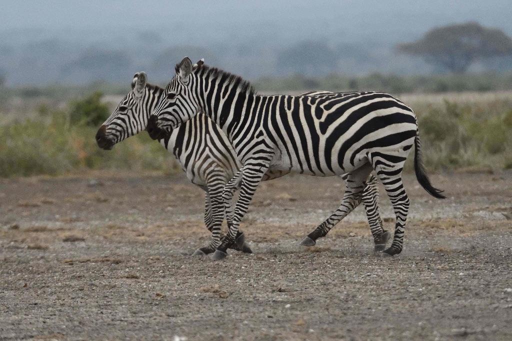 Plains Zebra,Amboseli,Kenya