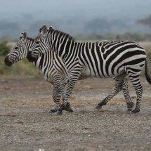 Plains Zebra,Amboseli,