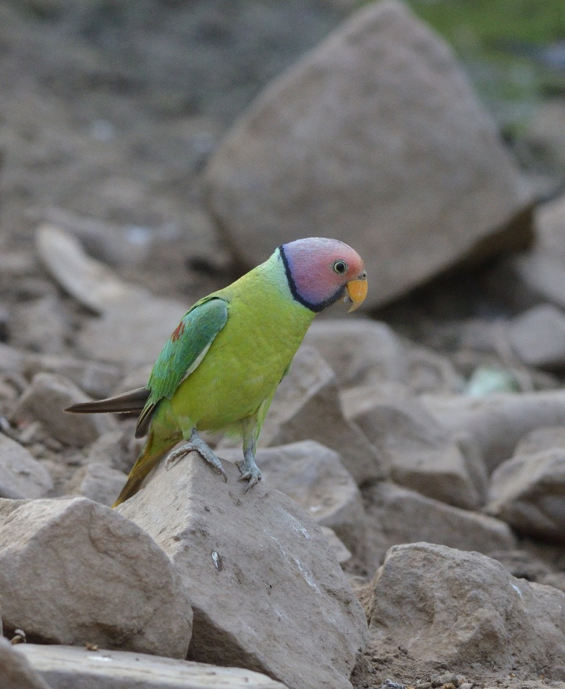 Plum-headed Parakeet,Ranthambhore