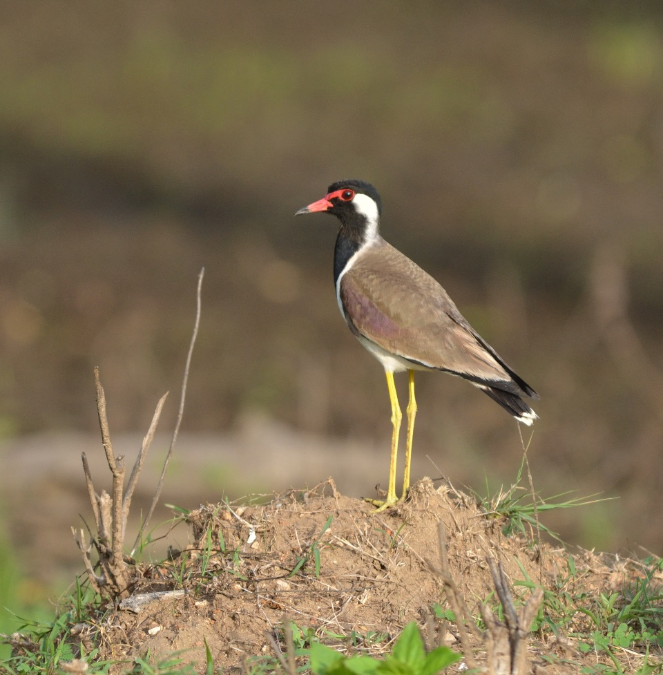 Red-wattled Lapwing,Nagarhole