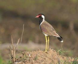 Red-wattled Lapwing,Nagarhole