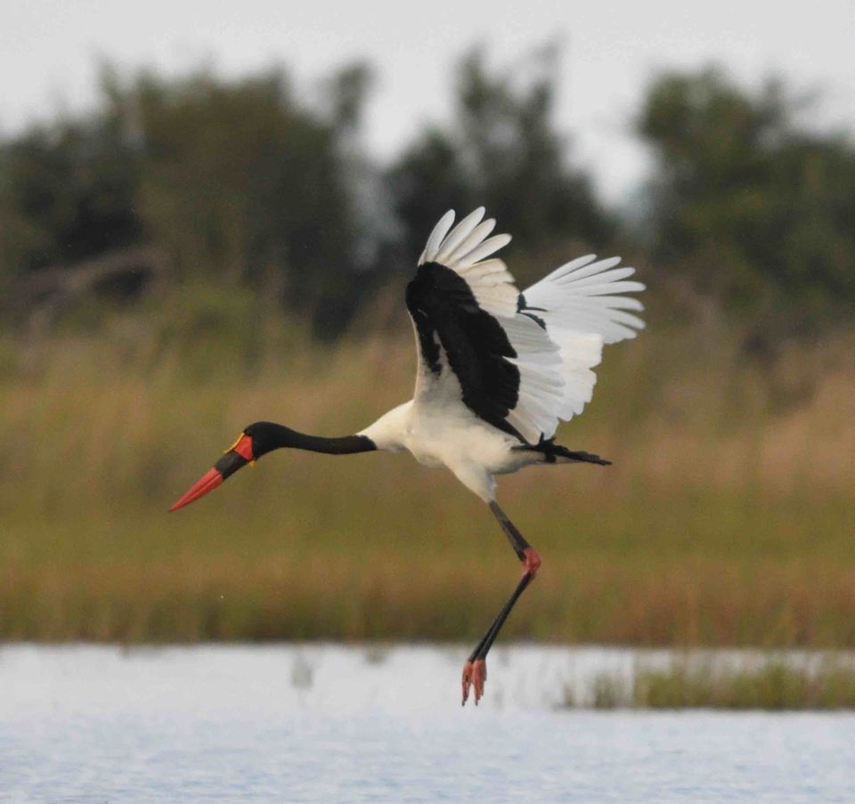 Saddle-billed Stork,Okavango Delta,Botswana