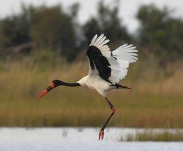 Saddle-billed Stork,Okavango Delta,Botswana