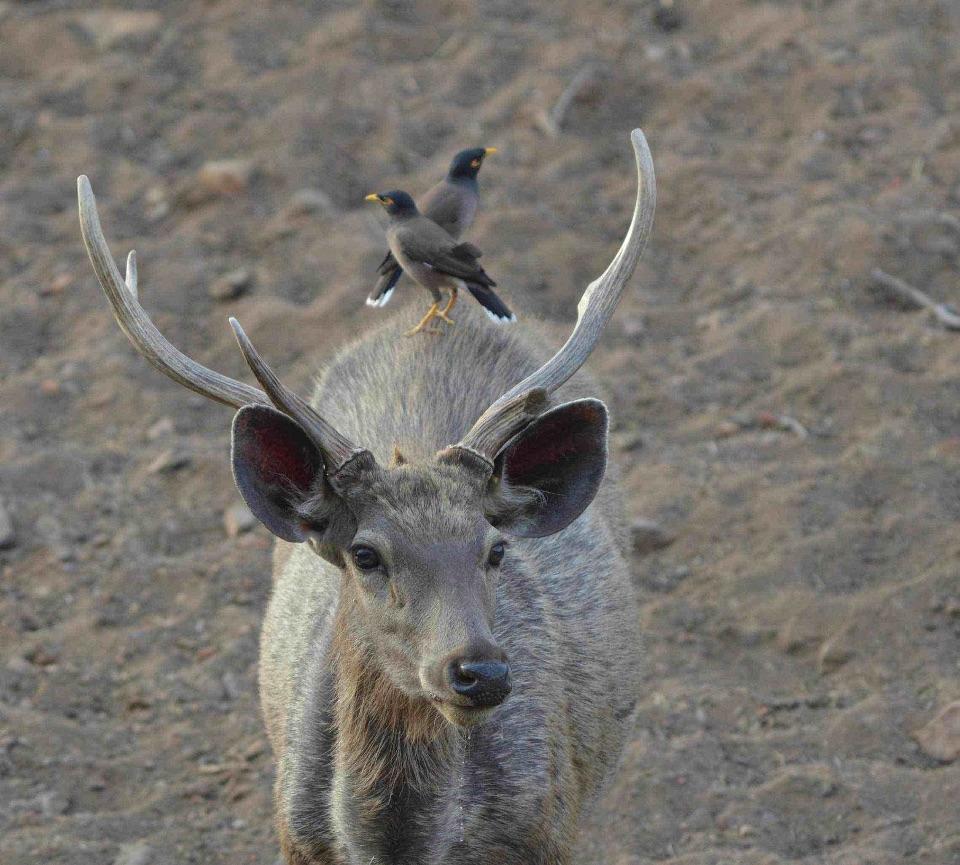 Samber Deer,Ranthambhore