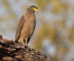 Crested serpent eagle,Pench