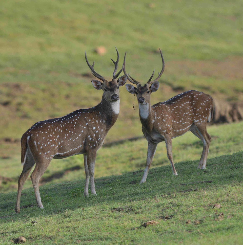 Spotted Deer,Nagarhole