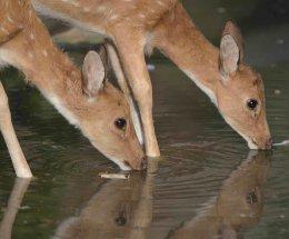 Spotted Deer,Ranthambhore