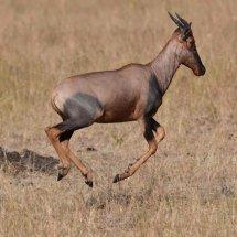 Topi,Serengeti