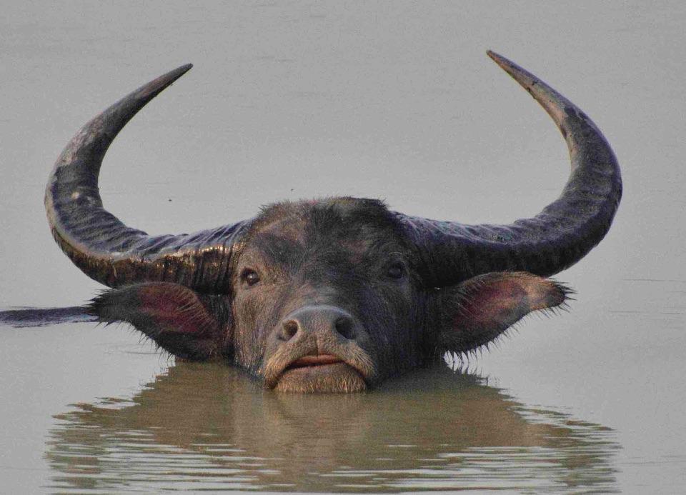 Wild Buffalo,Kaziranga