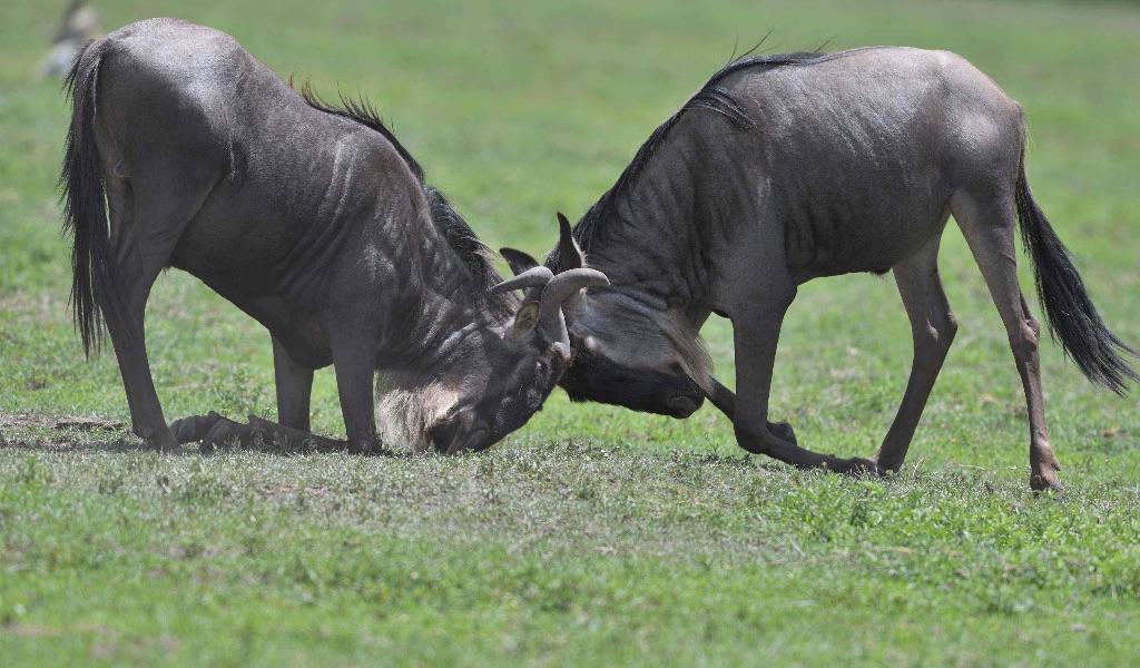 Wildebeest,Ngorongoro,Tanzania