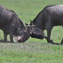 Wildebeest,Ngorongoro