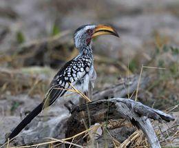 Yellow-billed Hornbill,Okavango Delta