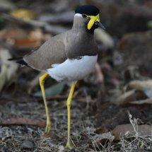 Yellow-wattled Lapwing,Kanha